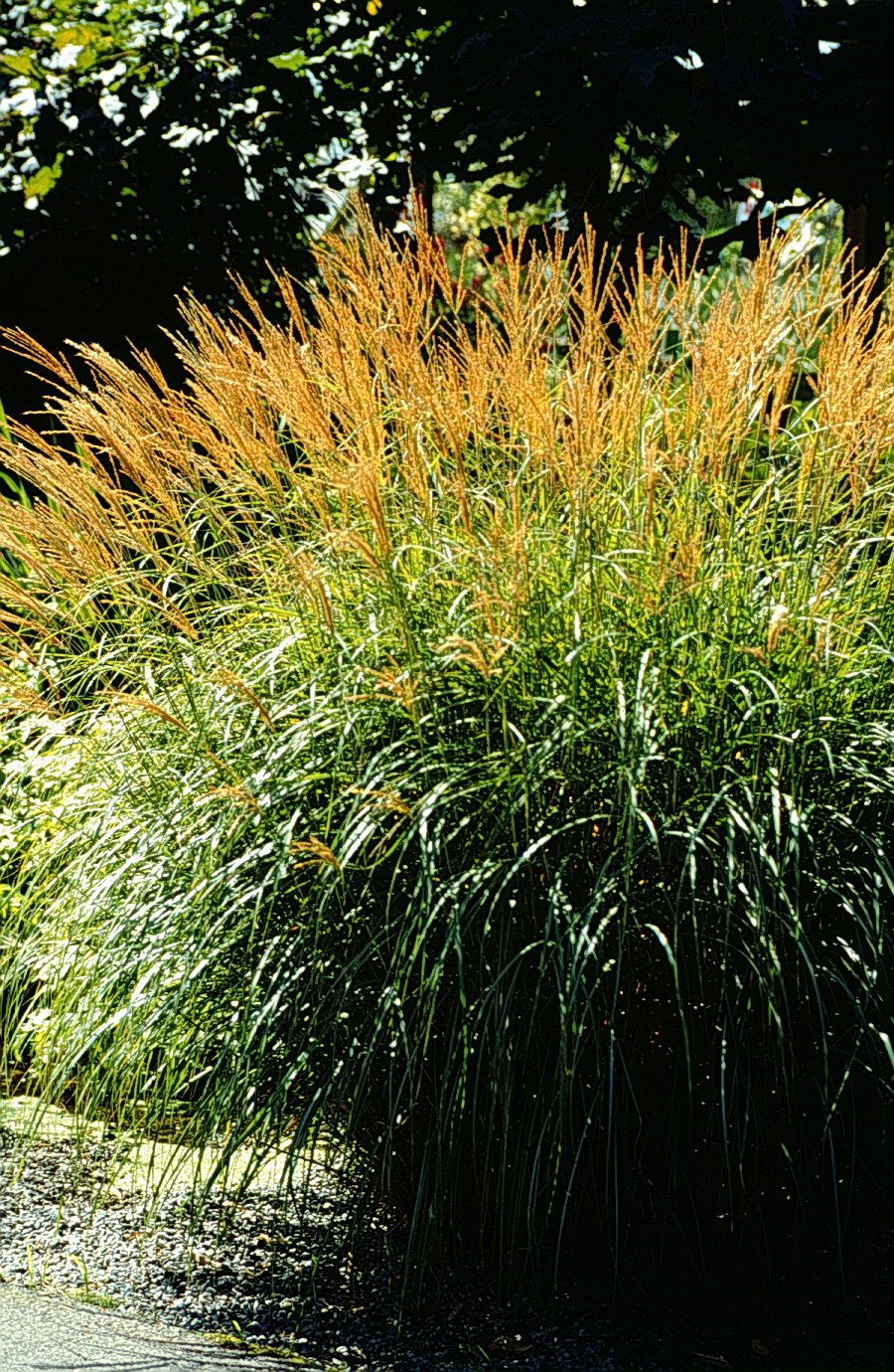 A gallery of ornamental grasses and grasslikes for Small ornamental grasses for sun