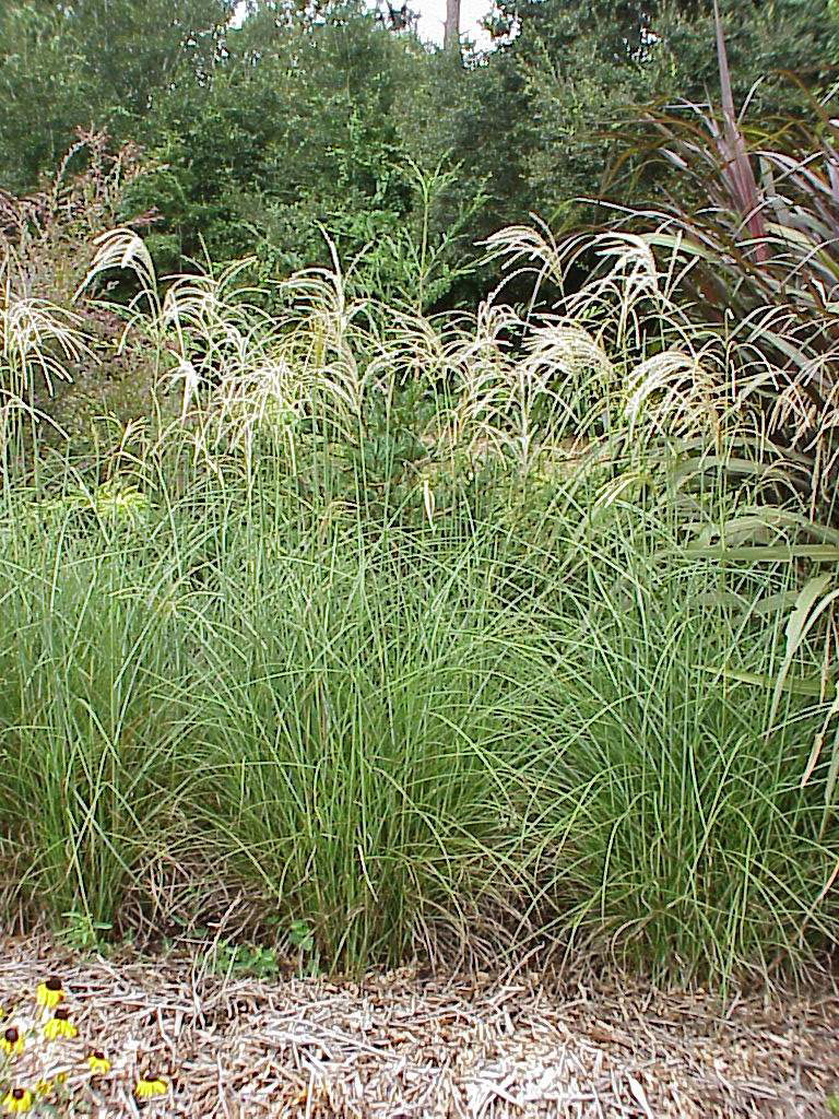 Tall Ornamental Grass Varieties An introduction to ornamental grasses and grasslikes for southern imagemiscanthus sinensis workwithnaturefo