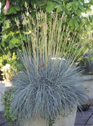 An introduction to ornamental grasses and grasslikes for for Large garden grasses