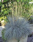 An introduction to ornamental grasses and grasslikes for for Tall oriental grass