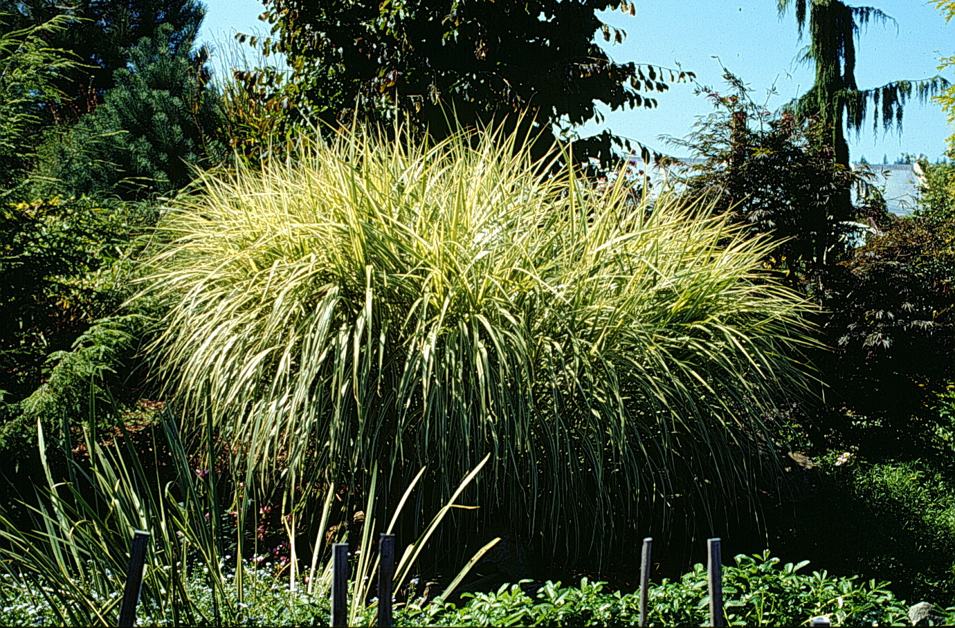 A gallery of ornamental grasses and grasslikes for Short variegated grass
