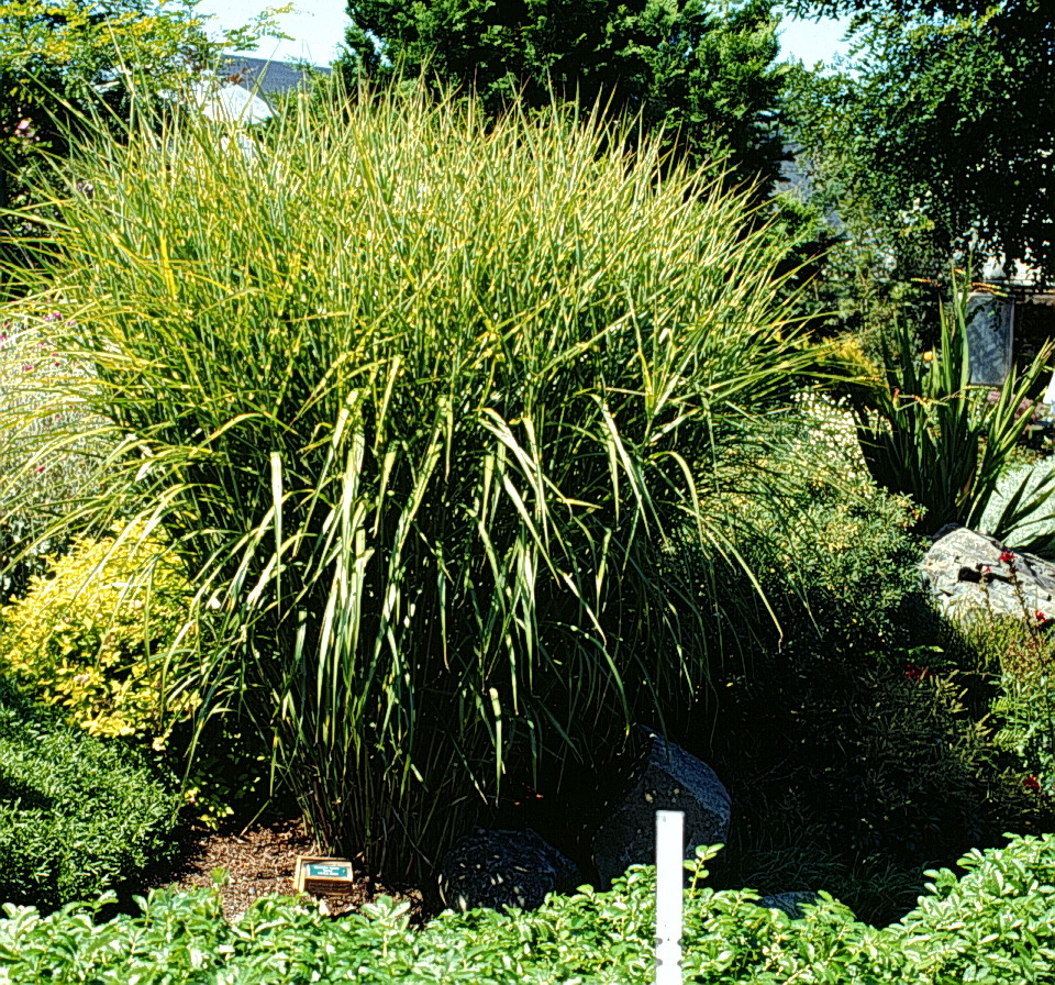 A gallery of ornamental grasses and grasslikes for Ornamental grasses that grow tall